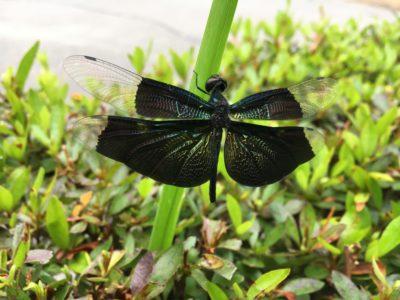 黒い羽根のトンボ