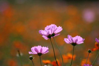 秋とコスモス