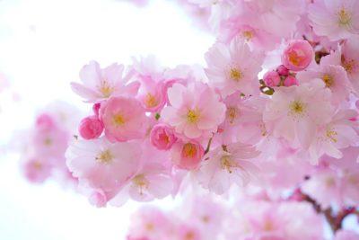 爛漫に咲く桜の花